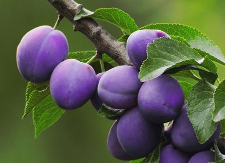 Prunele